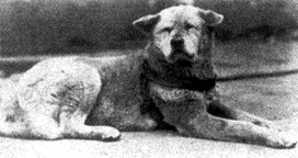 Hachi - The Real Lovable Dog's Original Picture